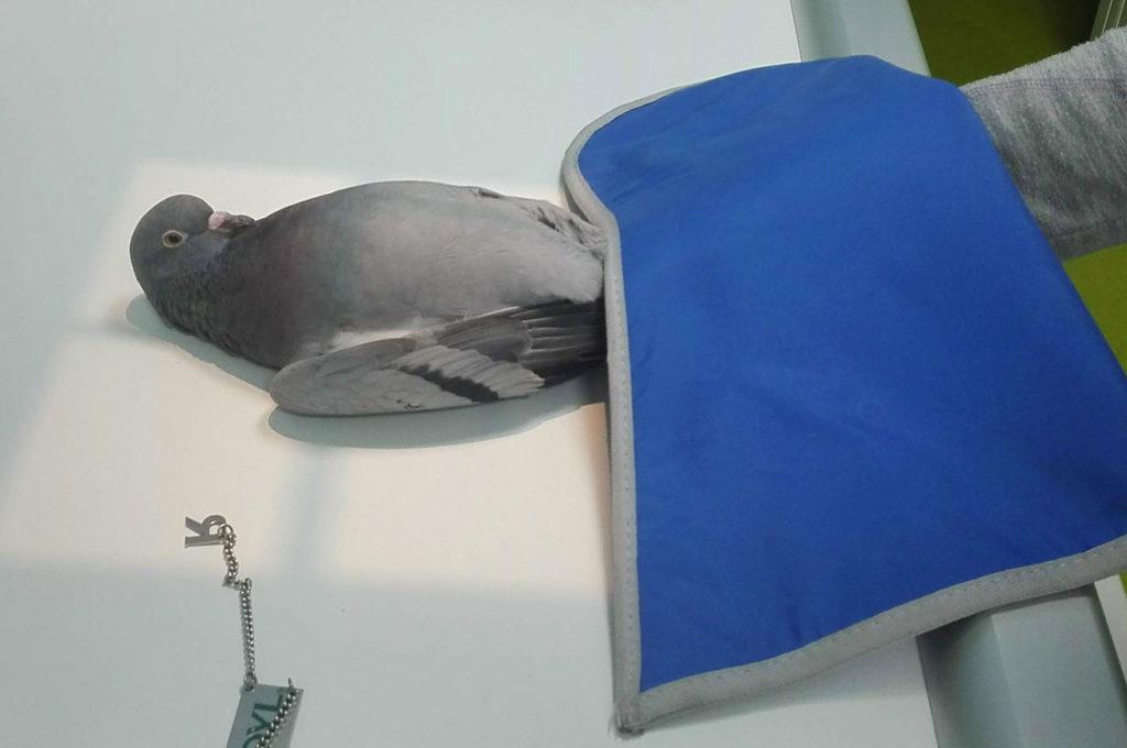 piccione radiografia